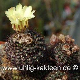 Frailea angelesiae  P 390 (Semillas)