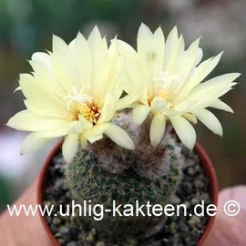 Frailea pygmaea FS 004 v. curvispina      (Samen)