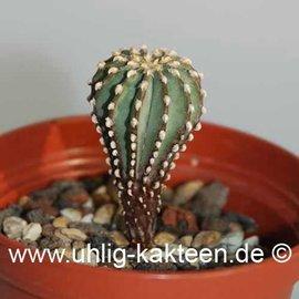 Geohintonia mexicana        (Samen)