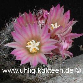 Gymnocactus subterraneus v. zarragossae # (Semillas)