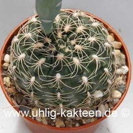 Gymnocalycium calochlorum v. proliferum A 001 (Samen)