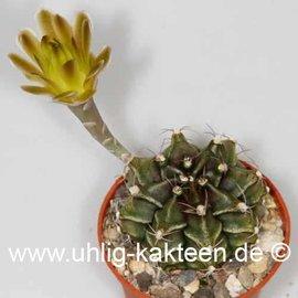 Gymnocalycium mihanovichii v. filadelfiense FR 1181 (Samen)