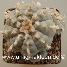 Lophophora williamsii (Samen) -> lieferbar nur auf Anfrage
