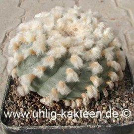 Lophophora williamsii fa. texana (Samen) -> lieferbar nur auf Anfrage