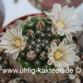 Mammillaria coahuilensis   (Semillas)