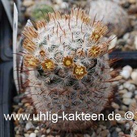 Mammillaria gasseriana   (Samen)