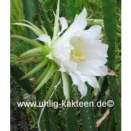Mediocactus hassleri   (Seeds)