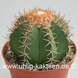Melocactus matanzanus   (Samen)