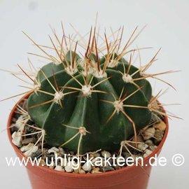 Melocactus spec.  HU 350 (Semillas)