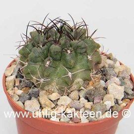 Neoporteria papaso n.i.   (Semillas)