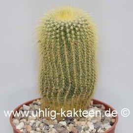 Notocactus leninghausii   (Semillas)