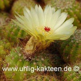 Notocactus muricatus  Gf 121 (Samen)