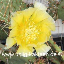 Opuntia engelmannii  (dw) (Semillas)