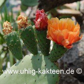 Opuntia ficus-indica   (Semillas)