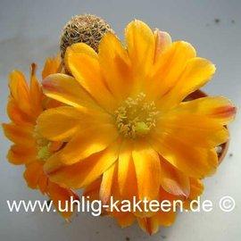 Rebutia diersiana v. minor WR 630 (Semillas)