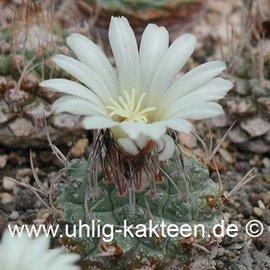 Strombocactus disciformis    (Samen)  (CITES)