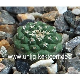 Strombocactus pulcherrimus  # (Semillas)