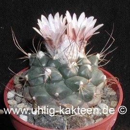 Turbinicarpus laui  v. El Tepozan   CITES  (Samen)