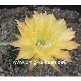 Echinopsis-Hybr. `Citrus`