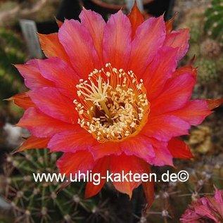Echinopsis-Hybr. `Mary Patrizia`  (C)