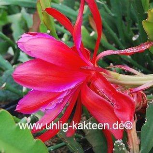 Epiphyllum-Hybr. `Dracula`