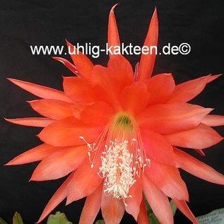 Epiphyllum-Hybr. `Geisha Girl`   Blüte orange-violett / orange-violet