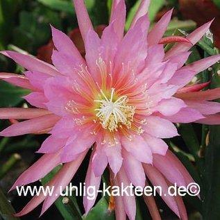 Epiphyllum-Hybr. `Pink Plumes`