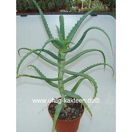 Aloe arborescens `Bitterschopf` `Brandaloe` v. frutescens `Bitterschopf` `Brandaloe` doppelt so starke Heilkräfte wie Aloe vera