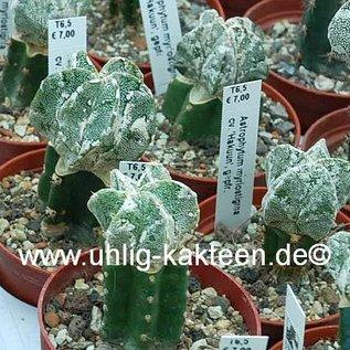 Astrophytum myriostigma  cv. Hakuun  gepfr.