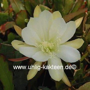 Epiphyllum-Hybr. `Nicole`