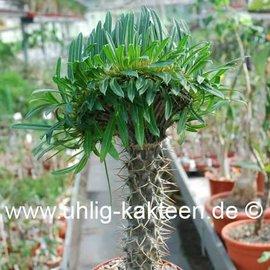 Pachypodium lamerei   Hochpfropfung   cristata