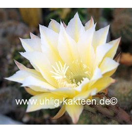 Echinopsis-Hybr. `Martinella`
