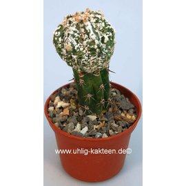Astrophytum myriostigma  cv. `Fukuryu`  gepfr.