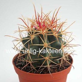 Ferocactus acanthodes rostii-Form