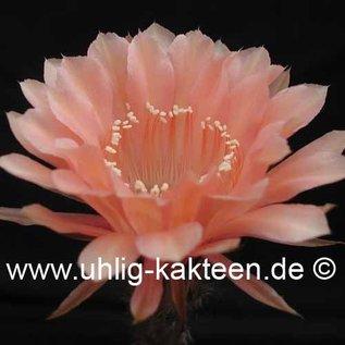 Echinopsis-Hybr. `Paramount 16/G`