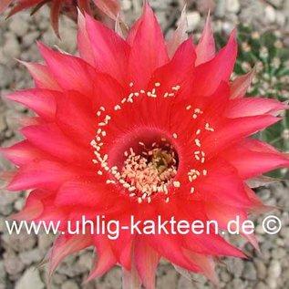 Echinopsis-Hybr. `Samba` Rheingold 275