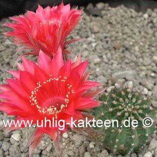 Echinopsis-Hybr. `Samba` Rheingold 275  Rheingold 275