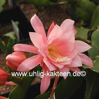 Epiphyllum-Hybr. Amanda Paetz (Capelleanus x Nayada)