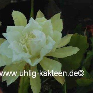 Epiphyllum-Hybr. `Amrey Paetz`