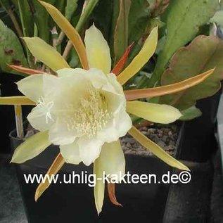 Epiphyllum-Hybr. `Andenken a. Bahnmeister O. Knebel`
