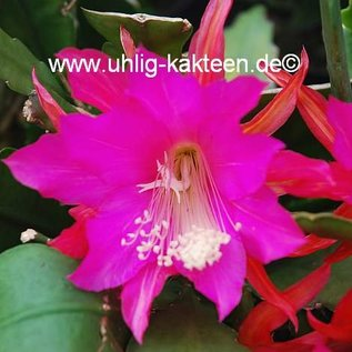 Epiphyllum-Hybr. `Annika Paetz`