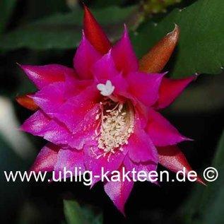 Epiphyllum-Hybr. `Carsten Paetz`