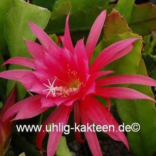 Epiphyllum-Hybr. Editha Paetz (capelleanus x cooperi)