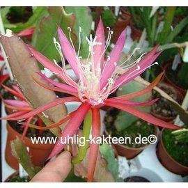 Epiphyllum-Hybr. `Elke Paetz`