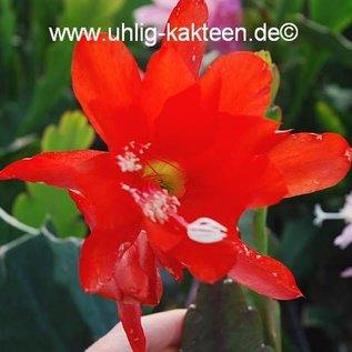 Epiphyllum-Hybr. `Katrin Paetz`