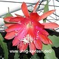 Epiphyllum-Hybr. `Maienanfang` PE 118