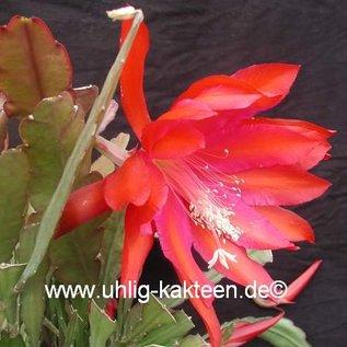 Epiphyllum-Hybr. `Oriana`
