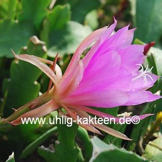 Epiphyllum-Hybr. P. J. Schade
