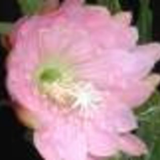Epiphyllum-Hybr. Padre