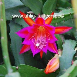 Epiphyllum-Hybr. Ramona Paetz